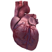 Heart front view